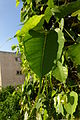 Ramat Gan Leaves 12 2015 (5).JPG