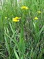 Ranunculus lingua L. (7477471504).jpg