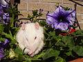 Rat albino.jpg