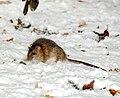 Rattus norvegicus -England -snow-8.jpg