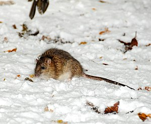 A brown rat eating food put out for garden bir...