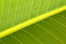 Ravenala madagascariensis leaf structure.jpg