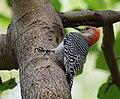 Red-bellied Woodpecker (37283500160).jpg