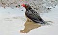 Red-billed Oxpecker (Buphagus erythorhynchus) (6001432153).jpg