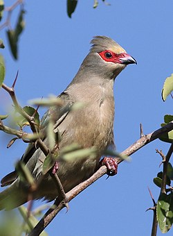 Red-faced mousebird, Urocolius indicus, at Pilanesberg National Park, Northwest Province, South Africa (28386317850).jpg
