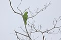 Red-lored Parrot (Amazona autumnalis) (5771820407).jpg
