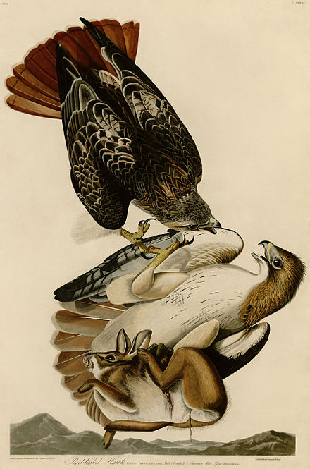 Red-tailed hawks engaging in an inflight battle over prey. Painted by John James Audubon. Red-tailed Hawk (Audubon).jpg