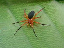 Red & Black Spider Chatswood West.JPG