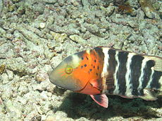 Red Breasted Wrasse, Bunaken Island.jpg