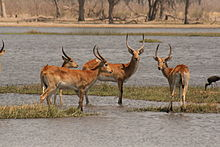 Red Lechwe in the Okavango.jpg