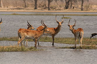 Lechwe - Image: Red Lechwe in the Okavango