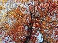 Red Maple (31123358305).jpg