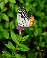 Red Pierrot Talicada nyseus nectaring by Dr. Raju Kasambe DSCN7596 (7).jpg