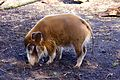 Red River Hog at Chester Zoo 1.jpg