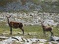 Red deer - geograph.org.uk - 931053.jpg