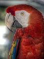 Red parrot (7761660276).jpg