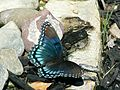 Red spotted purple butterfly limenitis arthemis.jpg