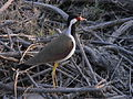 Red wattled lapwing corbett.jpg