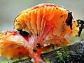 Red waxcap ferndale park April.jpg