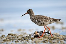 Redshank lake geneva-4.jpg
