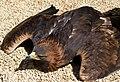 Resting Golden Eagle (6018871077).jpg