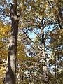 Rezerwat przyrody Dęby w Meszczach 201012 12.07.jpg