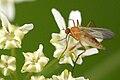 Rhamphomyia.flava2.-.lindsey.jpg