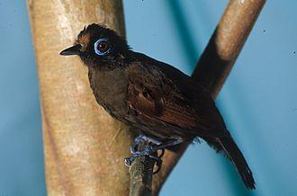 Hairy-crested antbird - Image: Rhegmatorhina melanosticta NBII Image Gallery a 00183