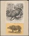 Rhinoceros unicornis - 1700-1880 - Print - Iconographia Zoologica - Special Collections University of Amsterdam - UBA01 IZ22000213.tif