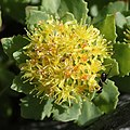 Rhodiola rosea (male flower) with ant.jpg