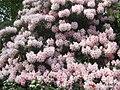 Rhododendron (5679799101).jpg