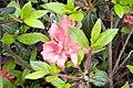 Rhododendron Autumn Princess 0zz.jpg