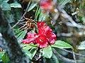 Rhododendron arboreum flowers.jpg
