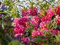 Rhododendron bush (14072769690).jpg