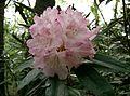 Rhododendron japonoheptamerum var hondoense3.jpg