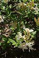 Rhododendron luteum in Minsk Botanical garden 01.jpg