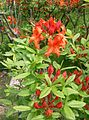 Rhododendron molle subsp japonicum3.jpg