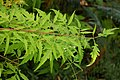 Rhus typhina 'Tiger Eyes' Leaves 3008px.jpg