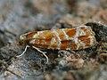 Rhyacionia pinicolana - Побеговьюн сосновый (41280860221).jpg
