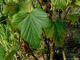 Svarta vinbärsblad