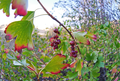 Ribes aureum var. aureum- ripe-fruit in the Wenatchee foothills Chelan County Washington.png