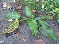 Ridderzuring plant (Rumex obtusifolius).jpg