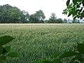 Ripening wheat near Shingle Barn Farm - geograph.org.uk - 199534.jpg
