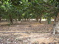 Rishpon, under persiom plantation.JPG