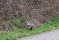 Roadside cat in Belœil, Belgium (DSCF4999).jpg