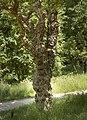 Robinia pseudoacacia Stricta C.jpg