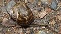 Roman Snail (Helix pomatia) - Oslo, Norway 2020-08-14 (03).jpg