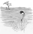 Roodborsttapuit Saxicola rubicola Jos Zwarts 5.tif