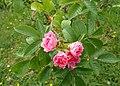 Rosa 'Pink Grootendorst' kz01.jpg