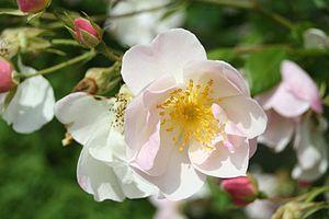 Rosa 'Nevada' - Image: Rosa Nevada 07